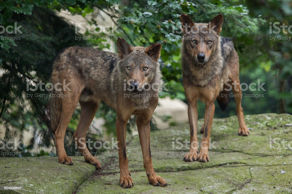 Iberian wolf (Canis lupus signatus). stock photo