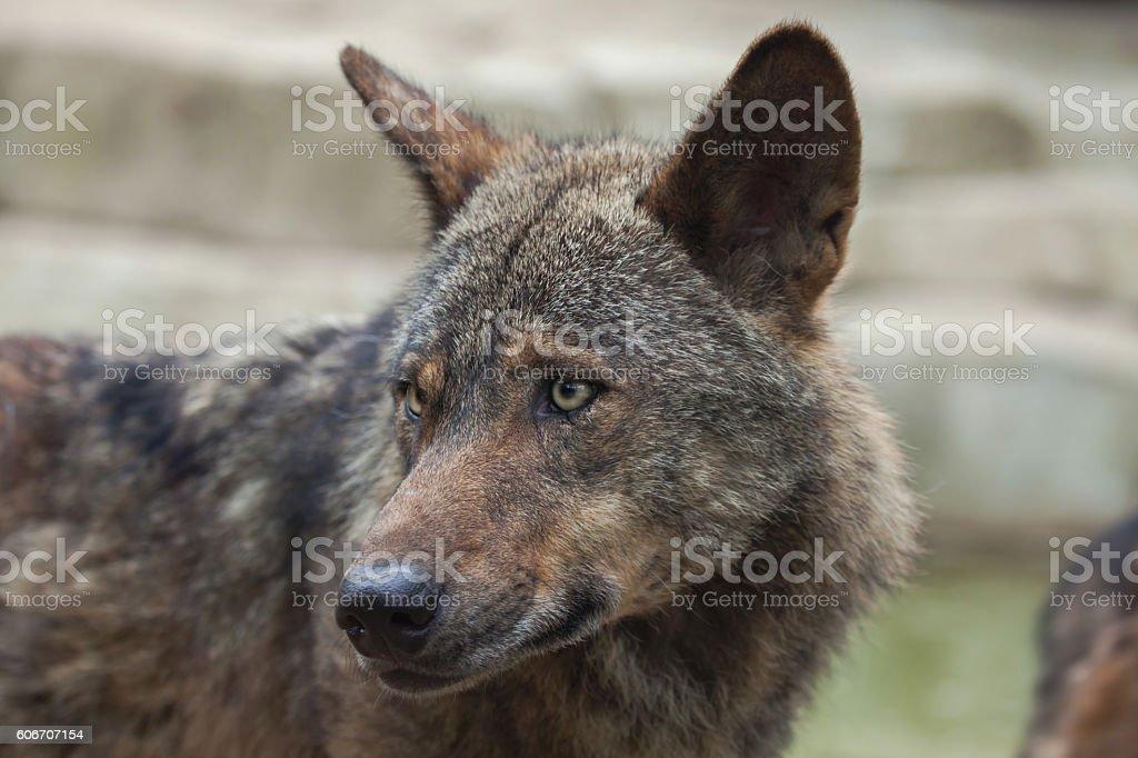 Iberian wolf (Canis lupus signatus). stock photo