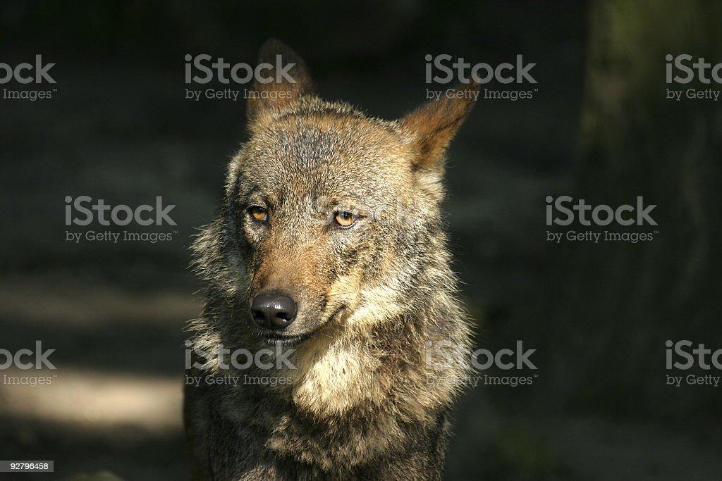Iberian Wolf stock photo