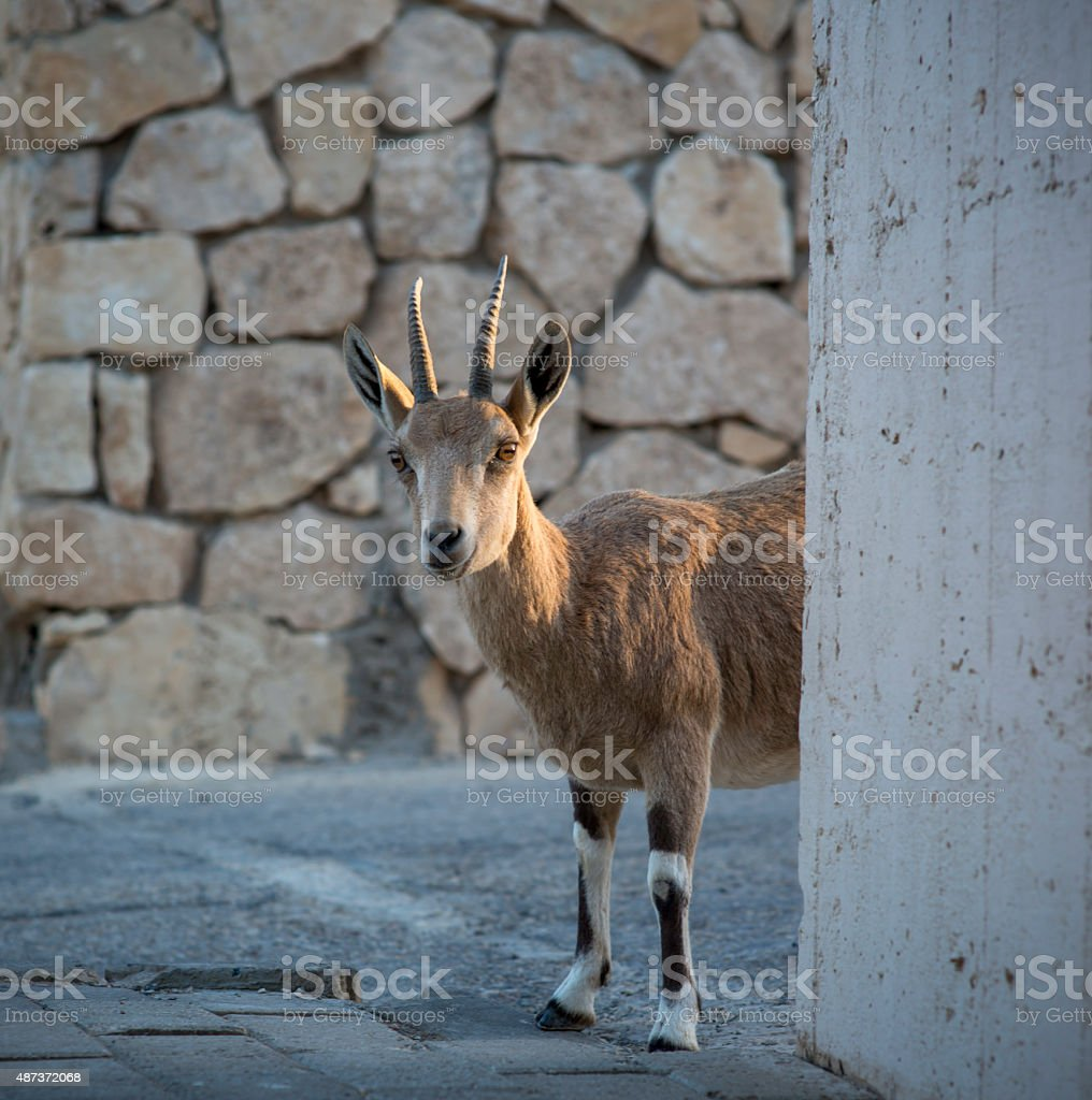 Ibex Around the Corner stock photo
