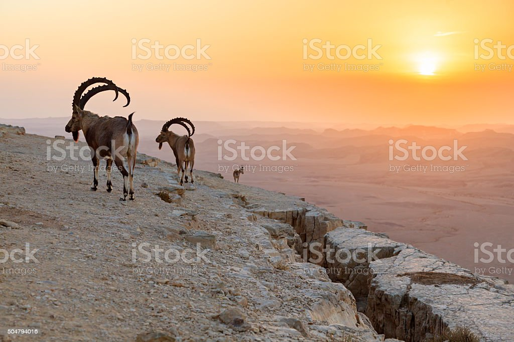 Ibex at sunrise stock photo