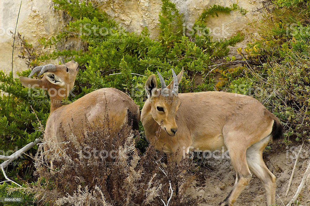 Ibex Babies stock photo