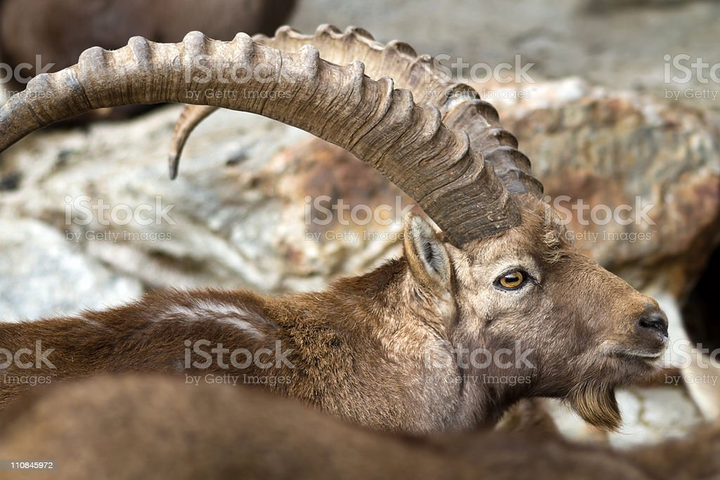 ibex closeup royalty-free stock photo