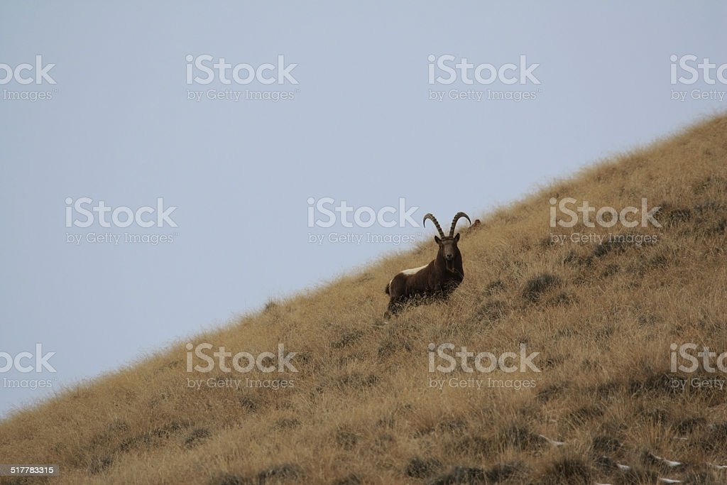Ibex. Goat Mid-Asian on a grassy slope is, Capricorn. stock photo