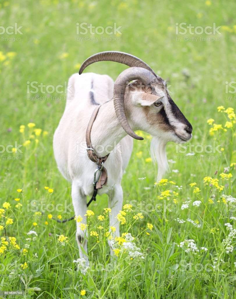 ibex grazed on a meadow stock photo