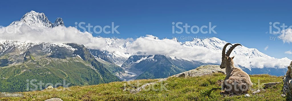 Ibex looking over Mont Blanc panorama French Alps stock photo