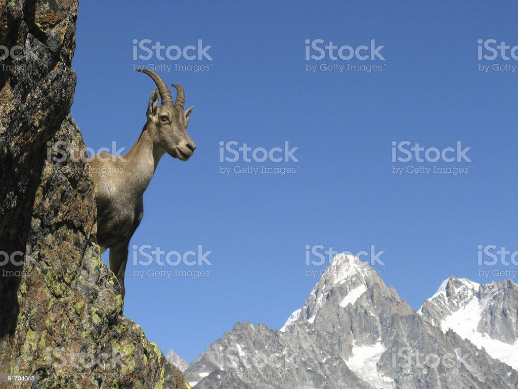 Ibex near Chamonix stock photo