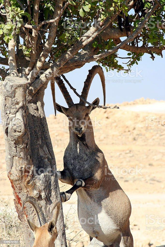 Ibex of the Desert royalty-free stock photo