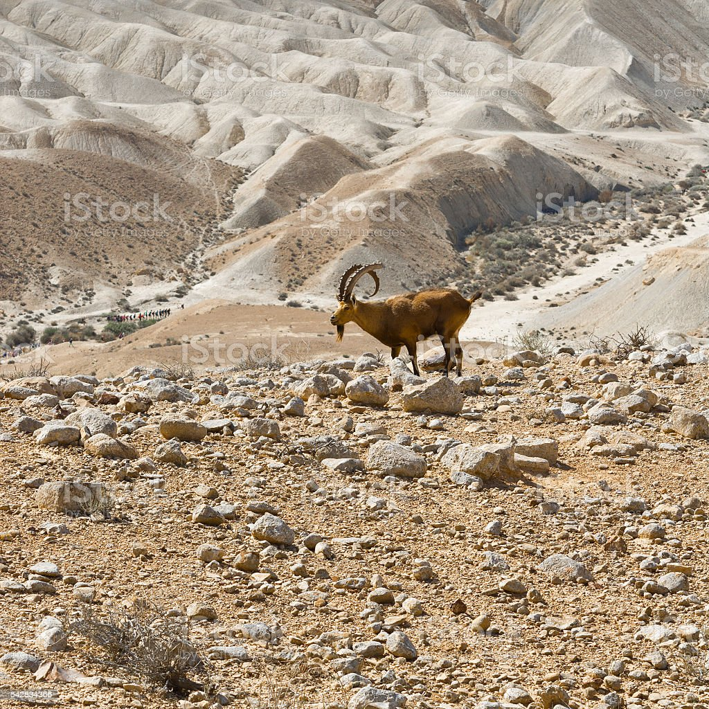 Ibex stock photo