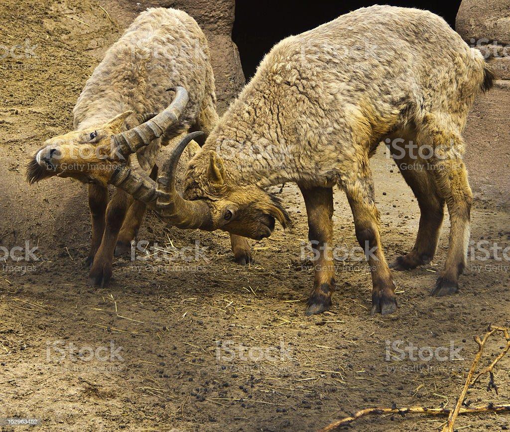 Ibex ramming heads stock photo