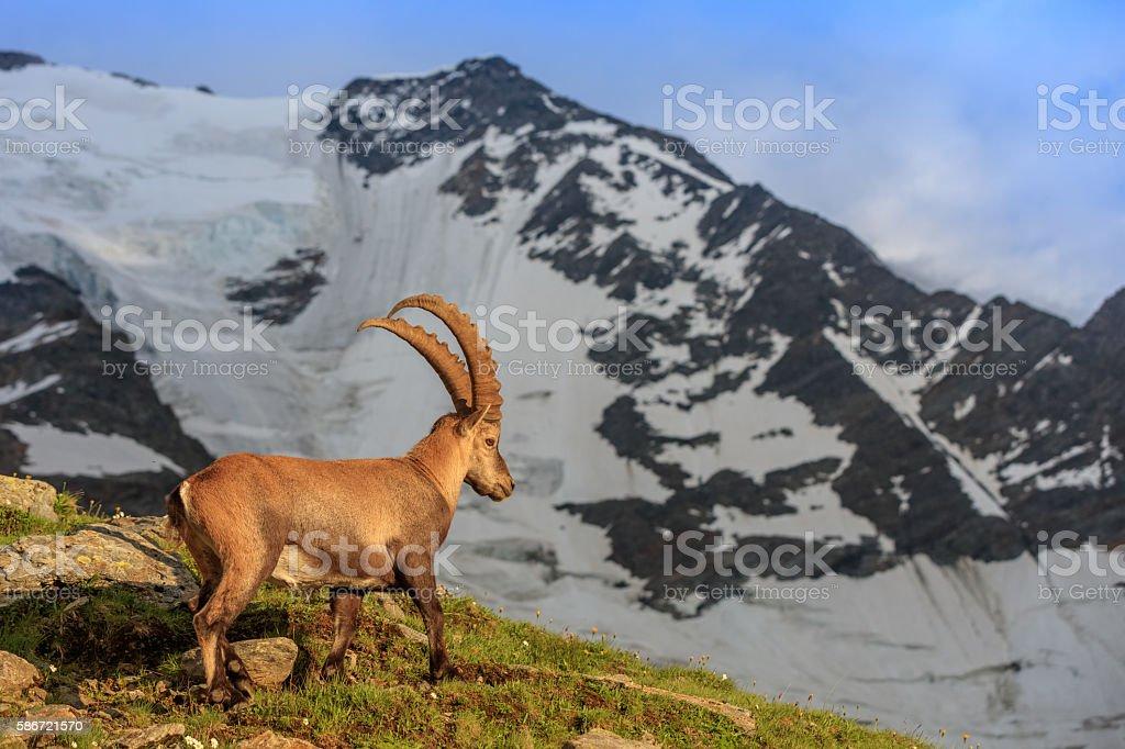 Ibex , Range of Mont-Blanc , French Alps stock photo