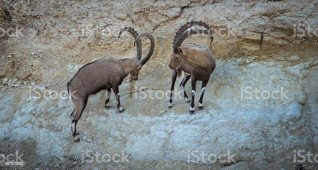Ibex Standoff stock photo