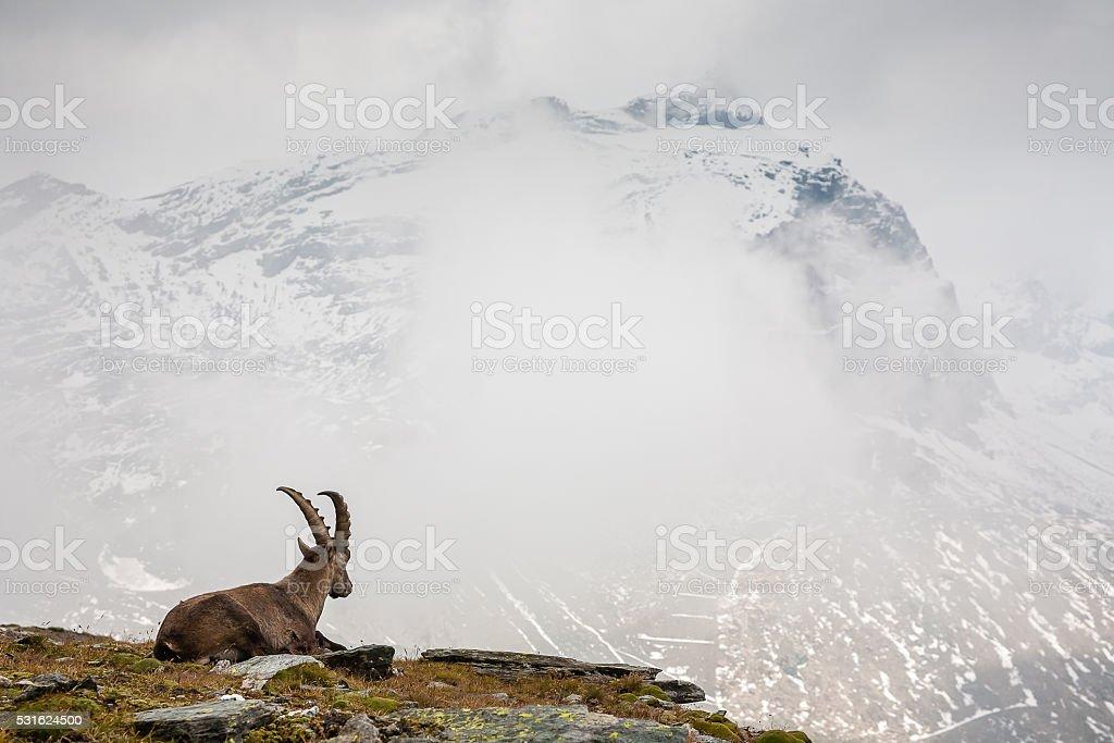 Ibex - wild goat stock photo