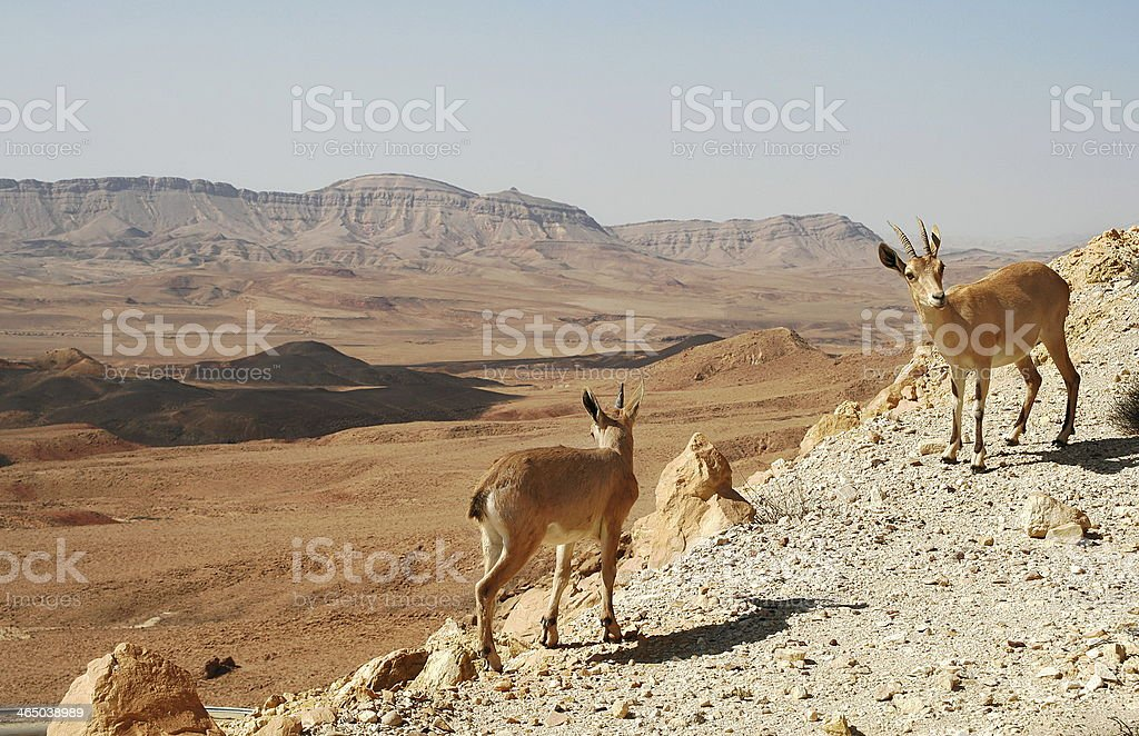 Ibexes on the cliff. stock photo