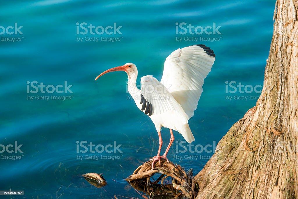 Ibis Bird Spread Wings in Orlando Florida Lake Eola Water stock photo