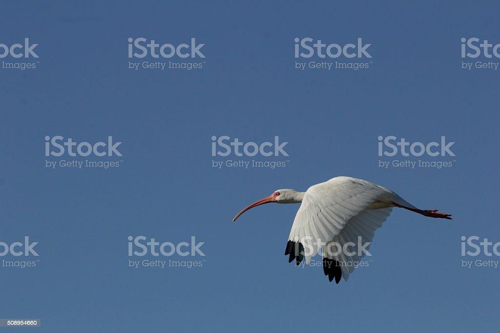 Ibis flying. stock photo