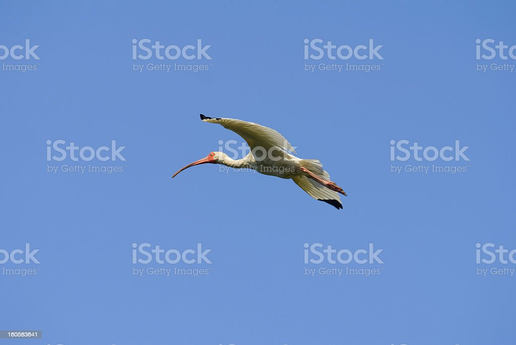 Ibis in Flight royalty-free stock photo