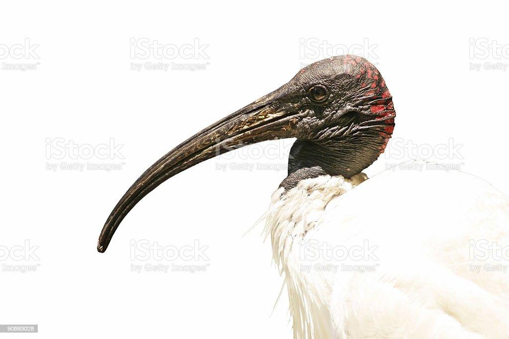 Ibis royalty-free stock photo