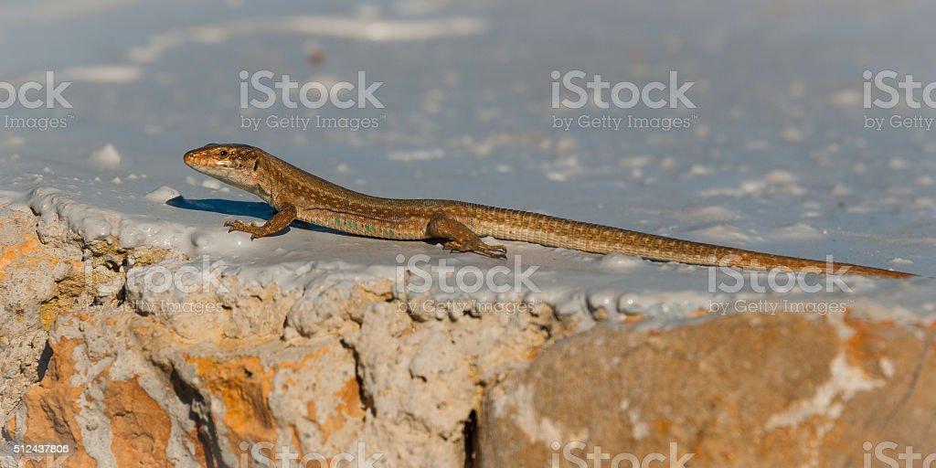 Ibiza wall lizard sunning himself on a painted rock. stock photo