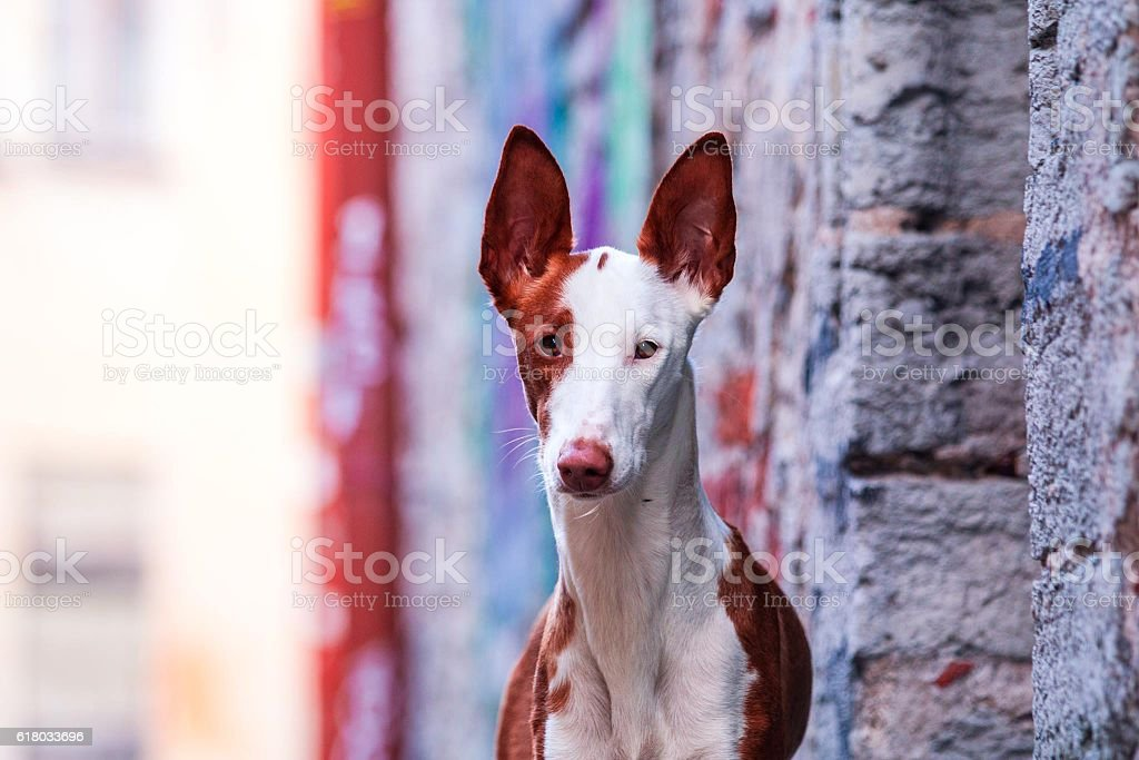 Ibizan hound in old town stock photo