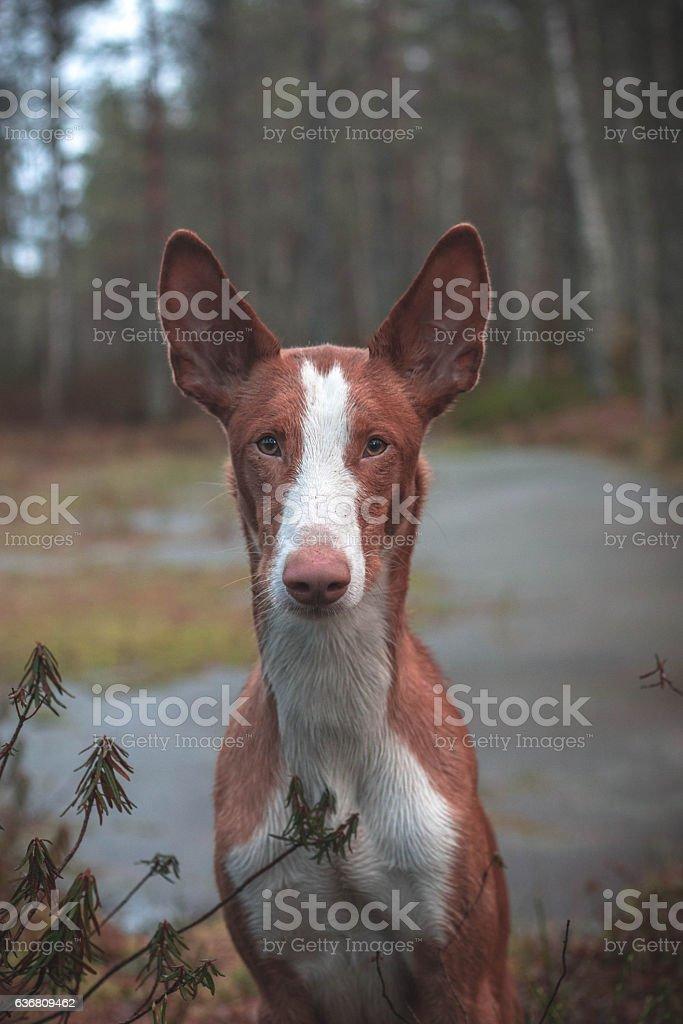 Ibizan hound stock photo