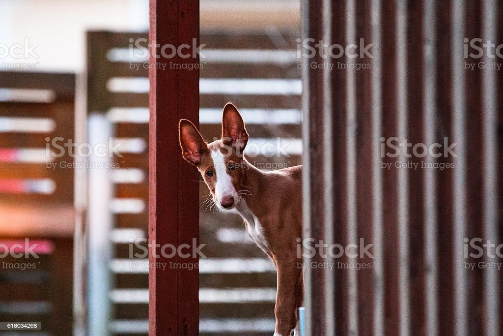 Ibizan hound puppy stock photo