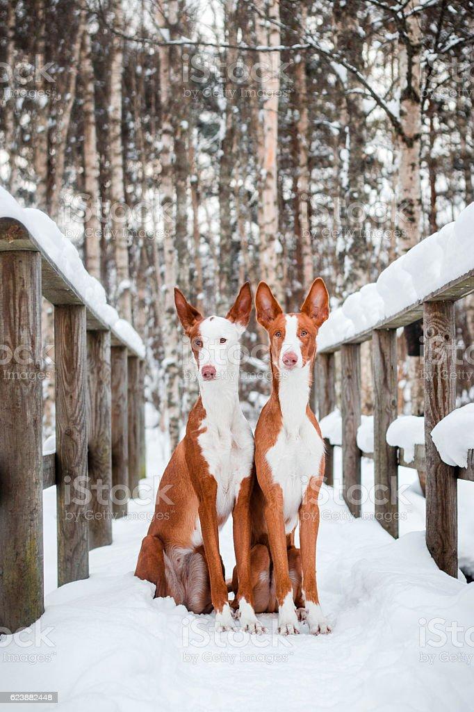 Ibizan hounds stock photo