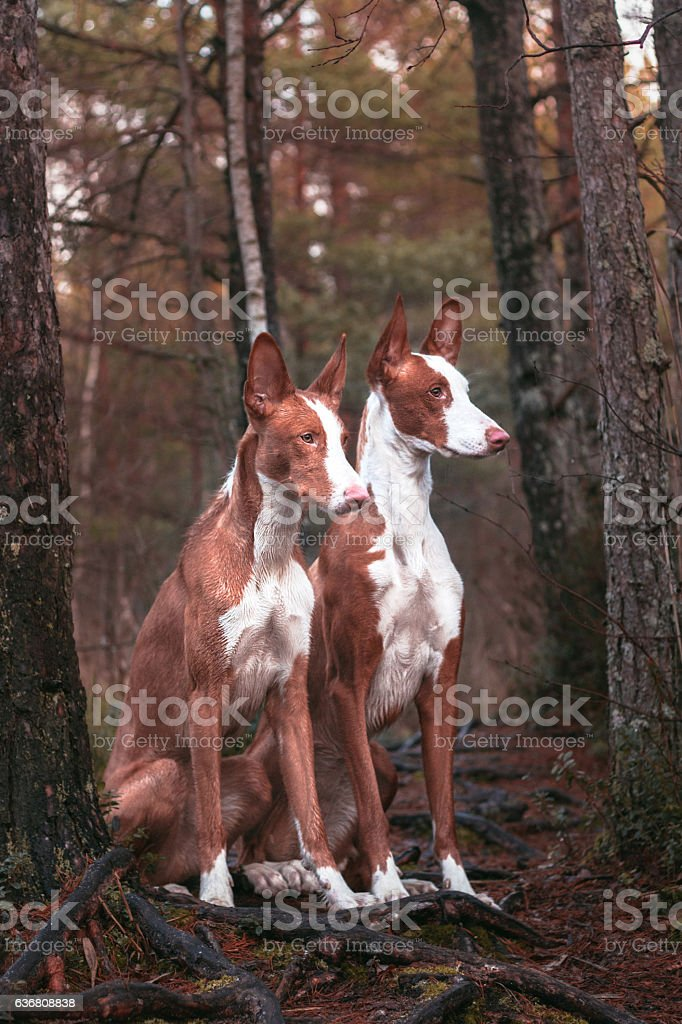 Ibizans in forest stock photo