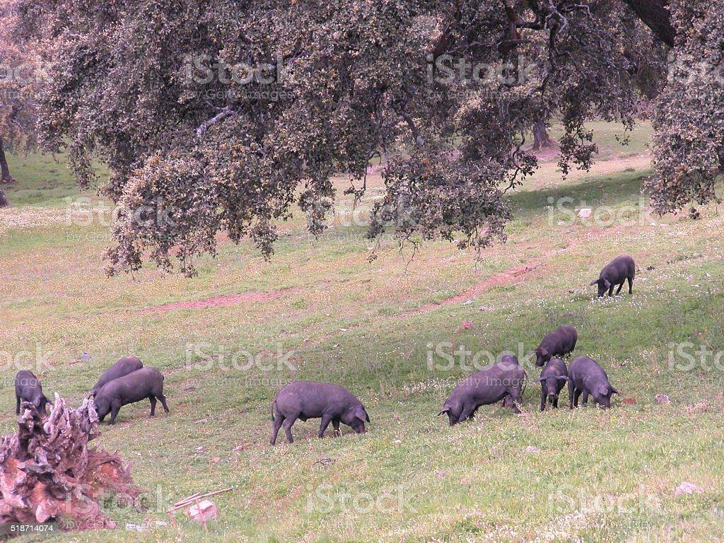 Ibrico pig farming stock photo