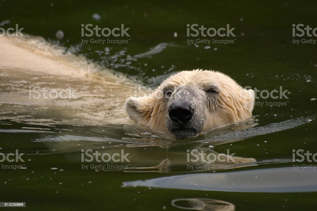 Ice Bear stock photo