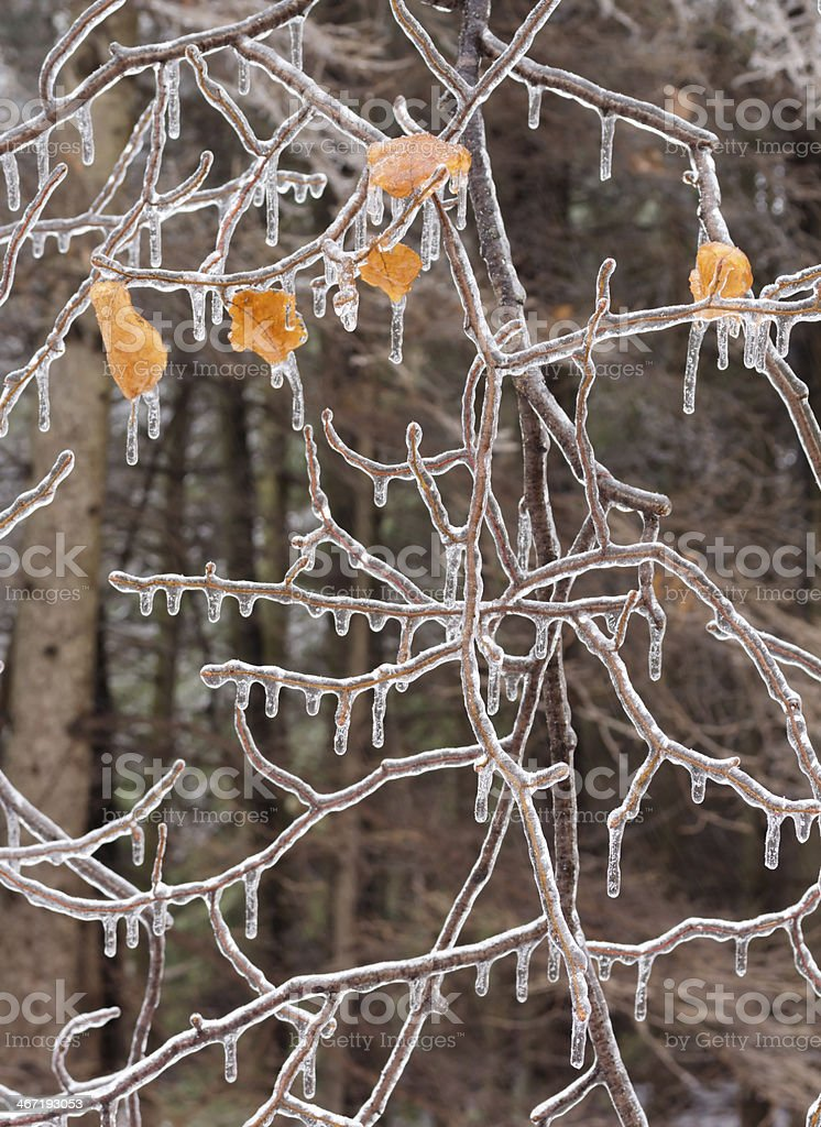 Ice covered branches after an ice storm. stock photo