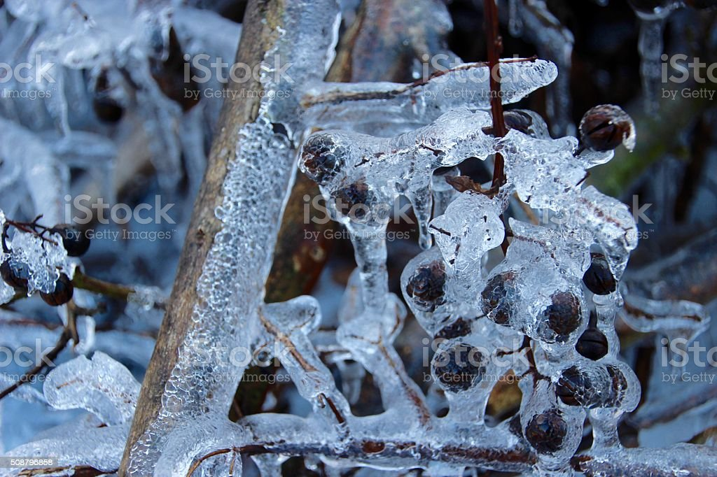 Ice Crape Myrtle Pods II royalty-free stock photo