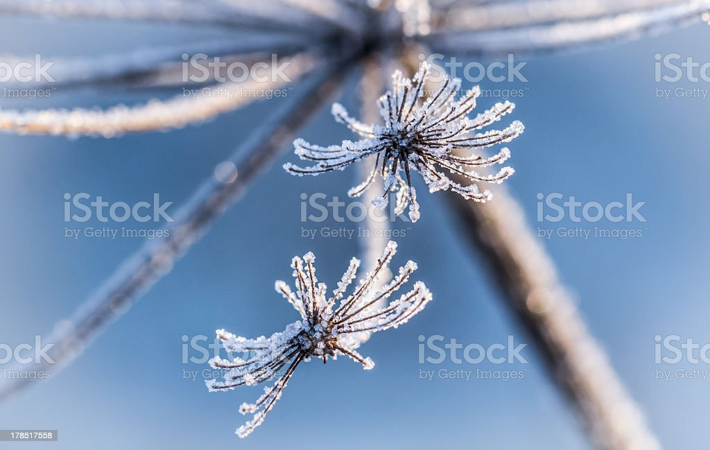 Ice crystals on the flower royalty-free stock photo