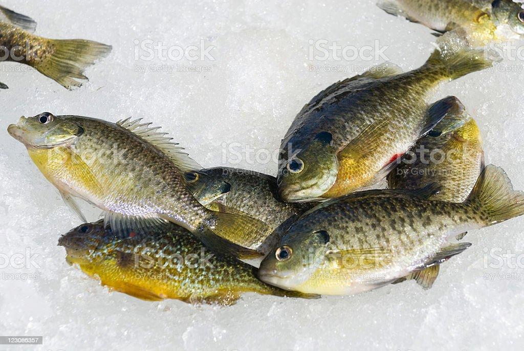Ice Fishing Catch royalty-free stock photo