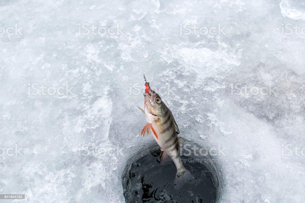 Ice fishing,perch on ice stock photo