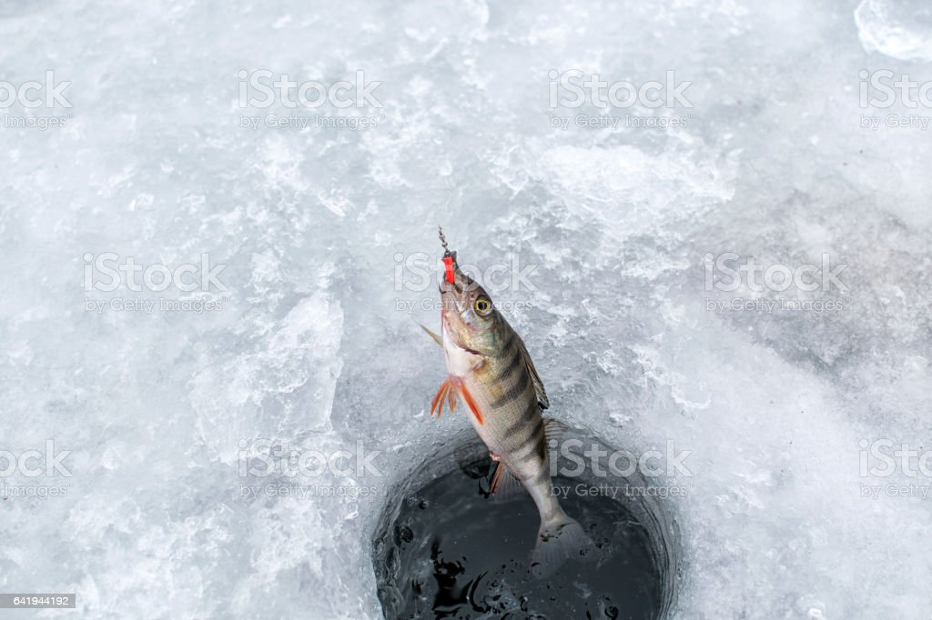 Ice fishing,perch on ice stock photo