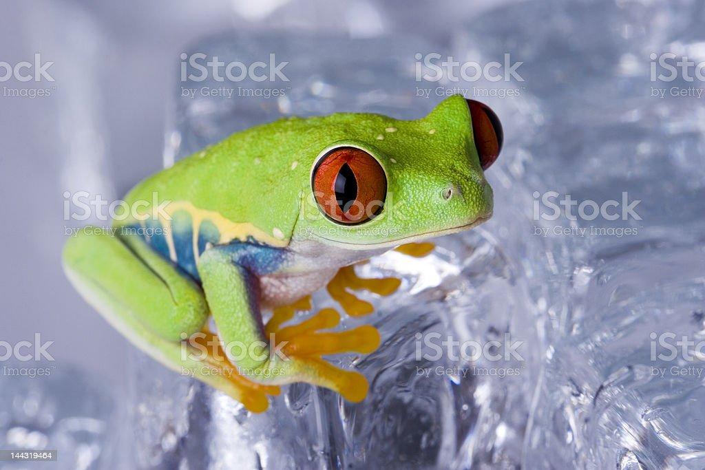 Ice frog stock photo
