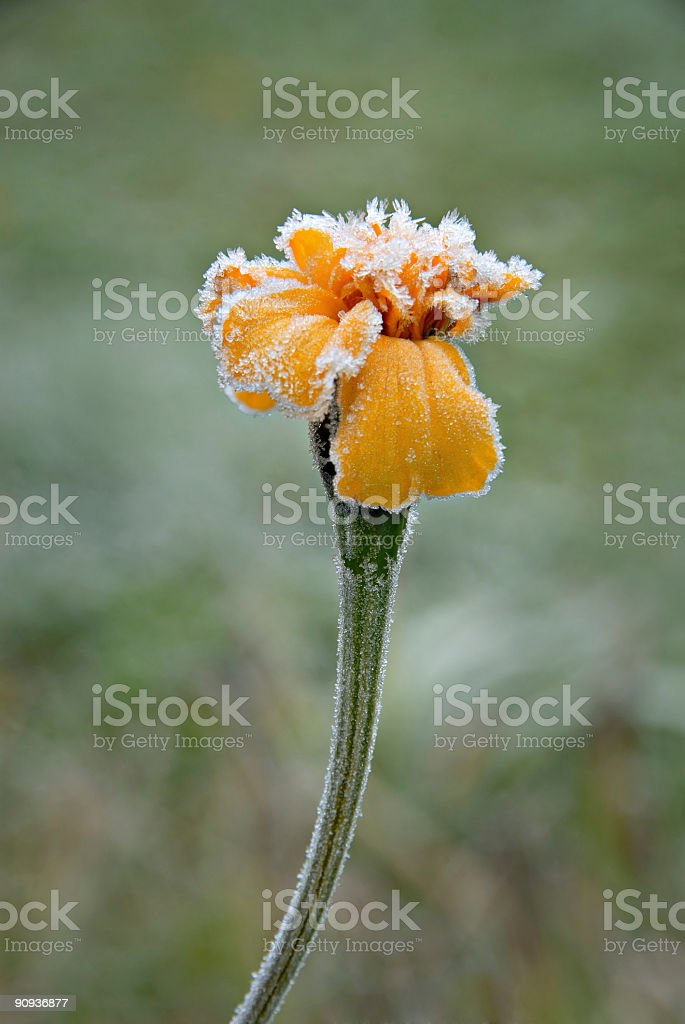 Ice of Flower royalty-free stock photo