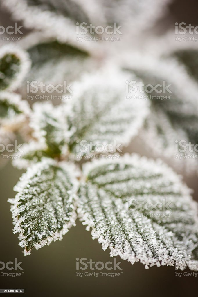 Ice on leaves after a late season frost. stock photo