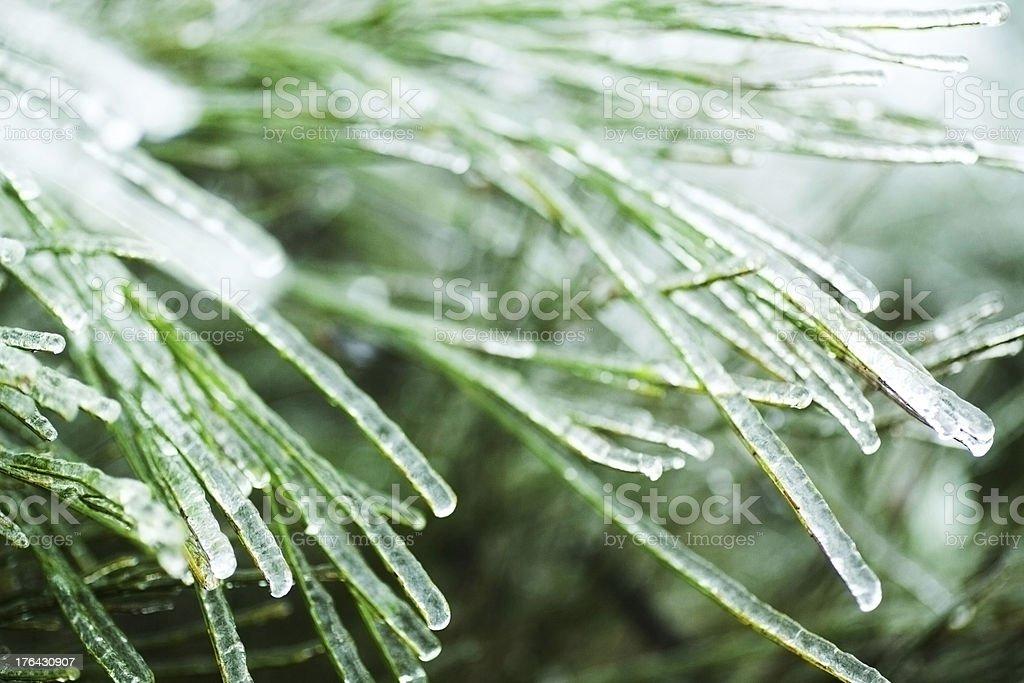 Ice on pine needles royalty-free stock photo
