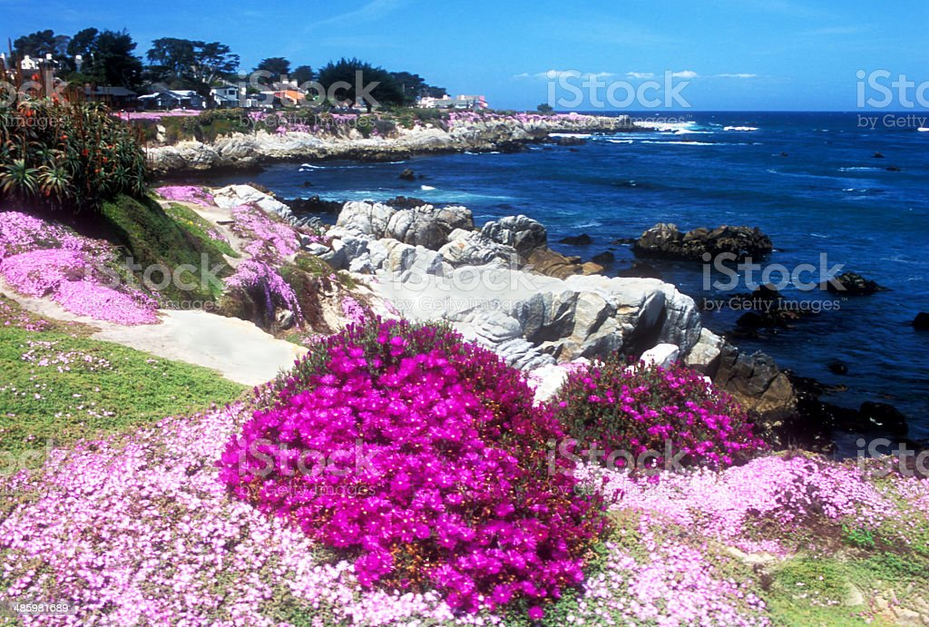 Ice Plant on the Monterey Peninsula in California stock photo
