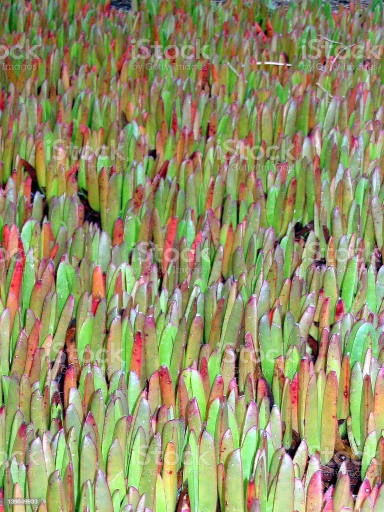 Ice plants stock photo