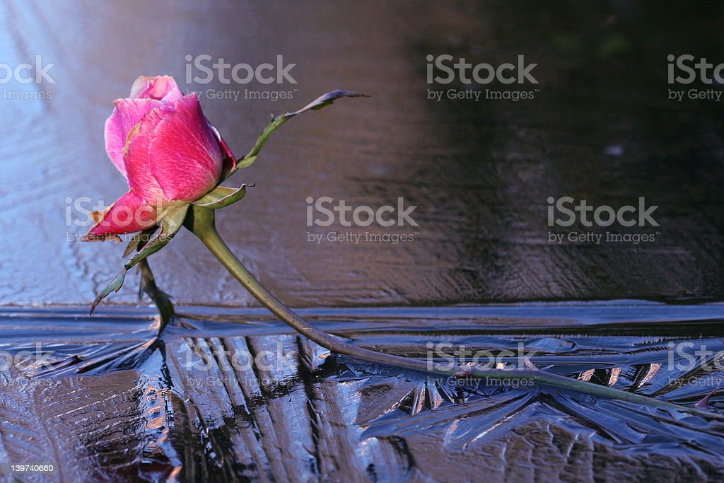 Rosa ghiaccio foto stock royalty-free