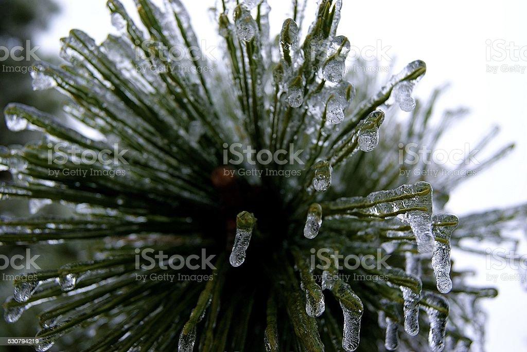 Ice Sprayed Needles royalty-free stock photo