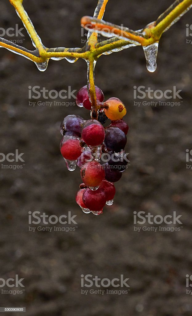 ice the bunch of grapes royalty-free stock photo