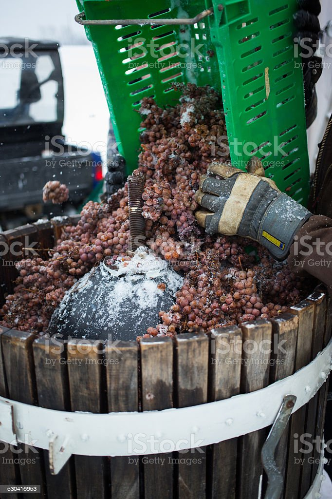 Ice wine grapes are poured into the press stock photo