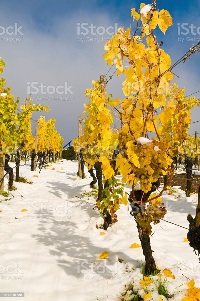 Ice wine grapes, first snow in the vineyard stock photo