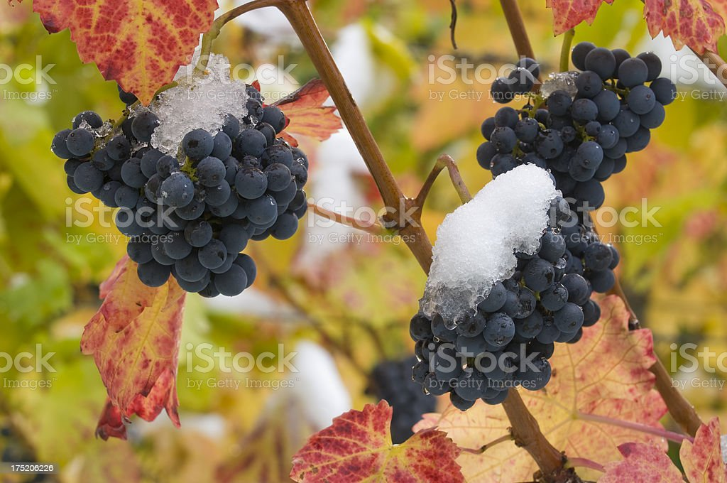 Ice wine grapes, first snow stock photo