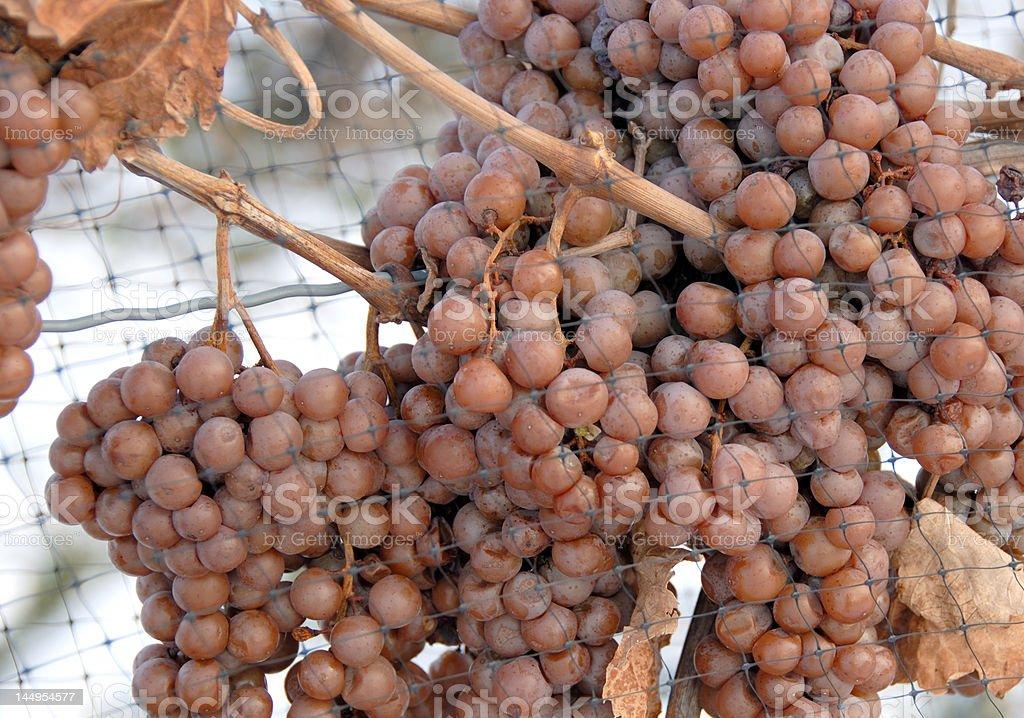 Ice Wine Grapes stock photo