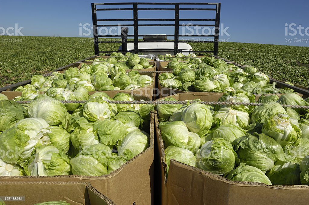 Iceberg Lettuce Boxed and Loaded on Truck stock photo